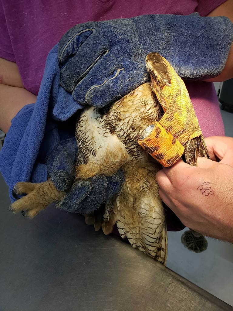 Rogue Rehab - Great Horned Owl Evaluation
