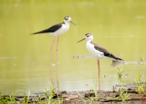 Black-necked Stilt 02